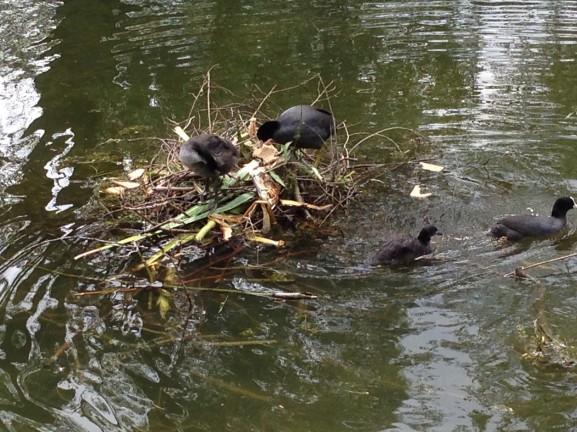 Meerkoet voeren nest