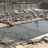 Hermes krokodillenfokkerij