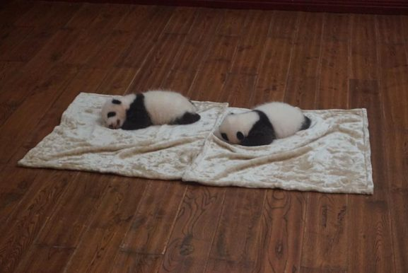 baby panda chengdu